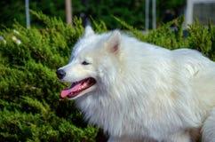 Siberian Samoyed, White husky dog Royalty Free Stock Photography