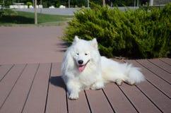 Siberian Samoyed, White husky dog Stock Photo