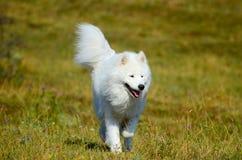 Siberian Samoyed, White husky dog Stock Images