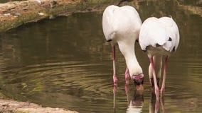 Siberian Sandhill Cranes Seek for Food in Pond in Park stock video
