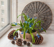 Siberian Scilla in the basket Stock Images