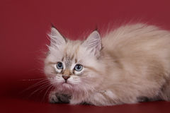 Siberian Seal Tabby Point cat female kitten. On wine red background Royalty Free Stock Image