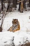 siberian sittande tiger Arkivfoton