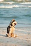 Siberian skrovlig hund på stranden Royaltyfri Bild