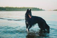 Siberian skrovlig hund som blir nära bergfloden Hunden simmar i sjön royaltyfria foton