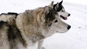 Siberian skrovlig hundkapplöpning arkivfilmer