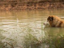 Siberian skrovlig hundsimning fotografering för bildbyråer