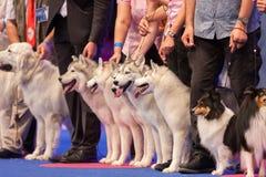 Siberian skrovlig och Shetland fårhund royaltyfria foton