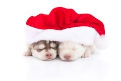 Siberian skrovlig valp i röd hatt för Santa Claus xmas på vit backgr Arkivfoton