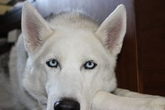 Siberian skrovliga blåa ögon för ståendefoto arkivbild