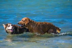 Siberian skrovliga och golden retrievervalpar som simmar på det plaskande vattnet för kusthav royaltyfria foton