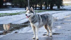 Siberian skrovligt Royaltyfria Bilder