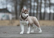 Siberian skrovligt för gullig valp Fotografering för Bildbyråer