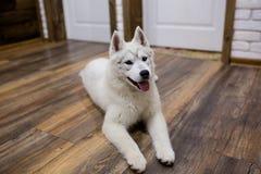 Siberian skrovligt hemmastatt ligga för valp på golvet livsstil med hunden royaltyfri bild