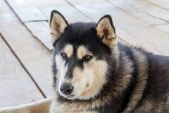 Siberian skrovligt, hundavel skrovligt som f?r Siberian huka sig ned, vilar p? tr?golvet arkivfoto
