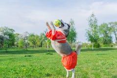 Siberian skrovligt i den röda dräkten som spelar med en boll utomhus arkivfoto