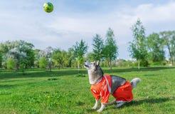 Siberian skrovligt i den röda dräkten som spelar med en boll utomhus royaltyfria foton
