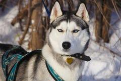 Siberian skrovligt i sele royaltyfria bilder