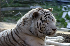Siberian Snow Tiger. The siberian snow tiger has cute babies and their photos are always charming. Usually it is enough for the animal to eat 40 pounds of meat a Stock Images