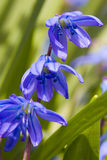 Siberian squill Royalty Free Stock Image