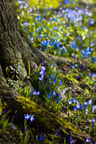 Siberian Squill blooming end of winter Stock Photography