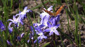 Siberian squill flower with butterfly in natural background. stock video