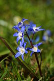 Siberian squill Stock Image
