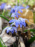 Siberian squill - Scilla siberica Stock Photography