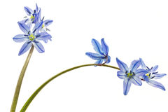 Siberian Squill (Scilla siberica) Royalty Free Stock Photo