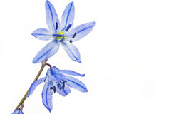 Siberian Squill (Scilla siberica) Stock Photography