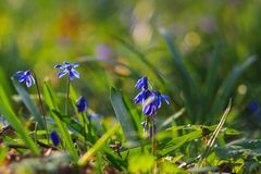 Siberian Squill Stock Photography