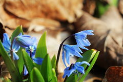 Siberian squill ,Scilla siberica blooming in March Stock Photography