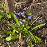 Siberian squill scilla siberica flowers macro, selective focus, shallow DOF Royalty Free Stock Photos