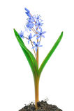 Siberian squill (Scilla siberica) Stock Photos