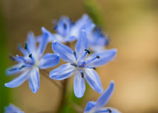 Siberian squill (Scilla siberica; wood squill) Royalty Free Stock Photos
