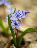 Siberian squill (Scilla siberica; wood squill) Royalty Free Stock Images