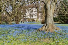 Siberian squill - spring blue flower, park in Lodz Royalty Free Stock Images