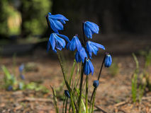 Siberian squill (wood squill - Scilla Siberica) flowers in the grass Royalty Free Stock Images