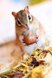 Siberian Squirrel. Beautiful siberian squirrel with nuts Royalty Free Stock Image