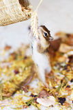 Siberian Squirrel. Beautiful siberian squirrel in paradise Stock Photography