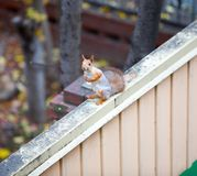 Siberian squirrel on the fence Royalty Free Stock Photo