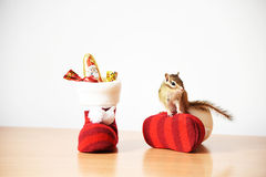 Siberian Squirrel Royalty Free Stock Photos