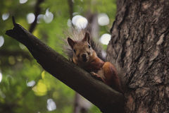 Siberian Squirrel Royalty Free Stock Image