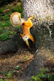 Siberian squirrel. Royalty Free Stock Photos