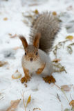 Siberian squirrel in the snow Royalty Free Stock Images