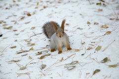 Siberian squirrel in the snow Stock Photography