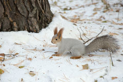 Siberian squirrel in the snow by the tree Stock Photos