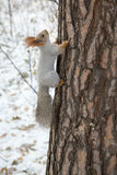Siberian squirrel up the trunk Royalty Free Stock Images
