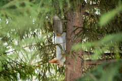 Siberian squirrel upside down on the trunk Royalty Free Stock Photography