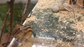 Siberian squirrels - Tamias sibiricus Royalty Free Stock Images